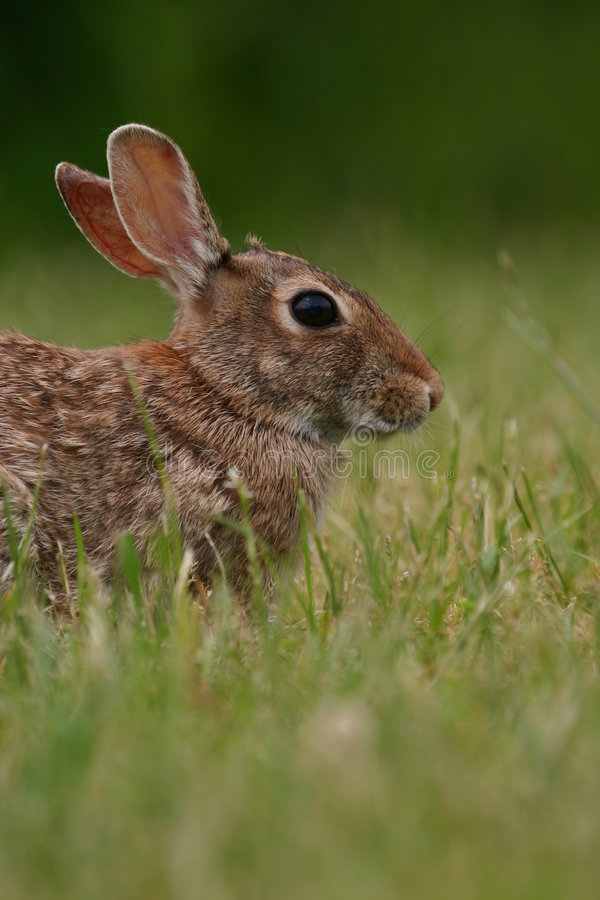 Download Eastern cottontail rabbit stock image. Image of mammal - 1263357