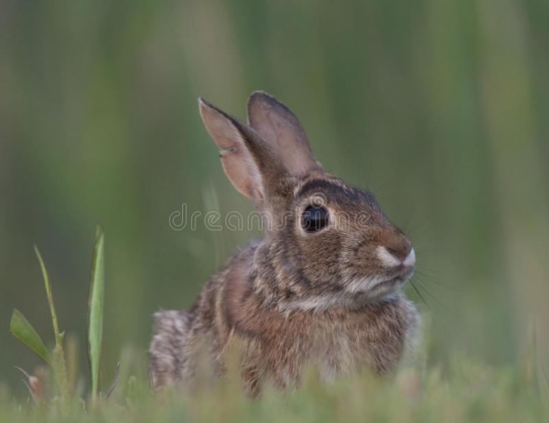 Download Eastern Cottontail Rabbit stock photo. Image of undomesticated - 15601688