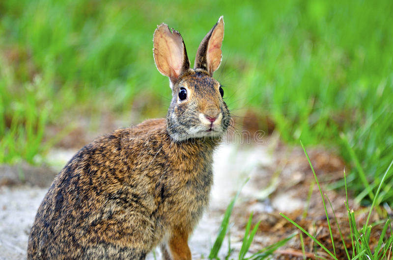 Download Eastern Cottontail Rabbit stock photo. Image of mammal - 20019312