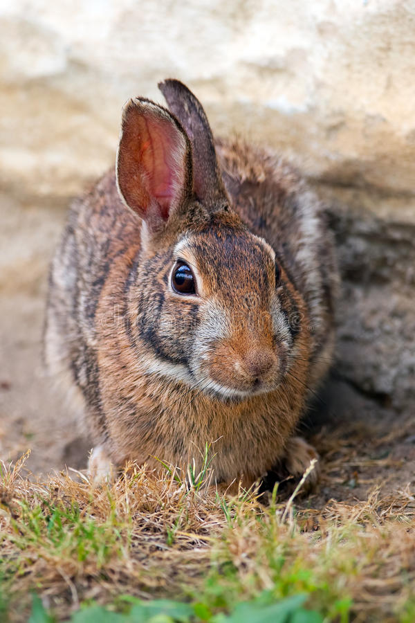 Download Eastern Cottontail Rabbit stock photo. Image of face - 25175850
