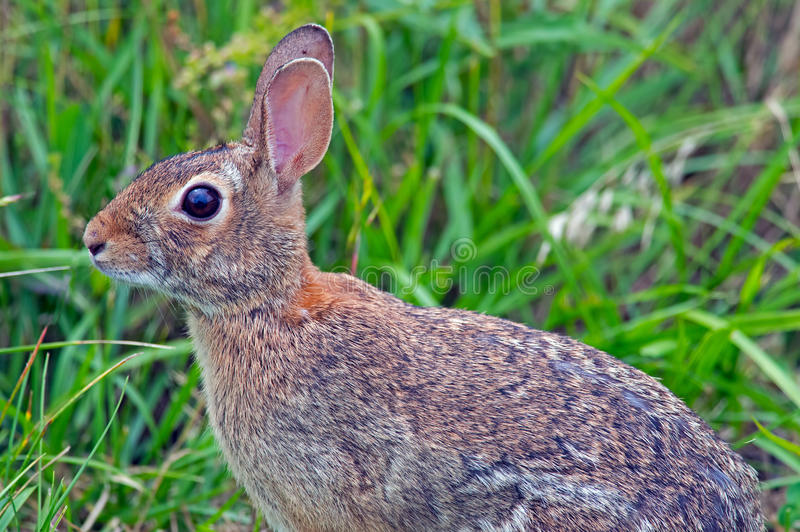 Download Eastern Cottontail Rabbit stock image. Image of fuzzy - 25340477