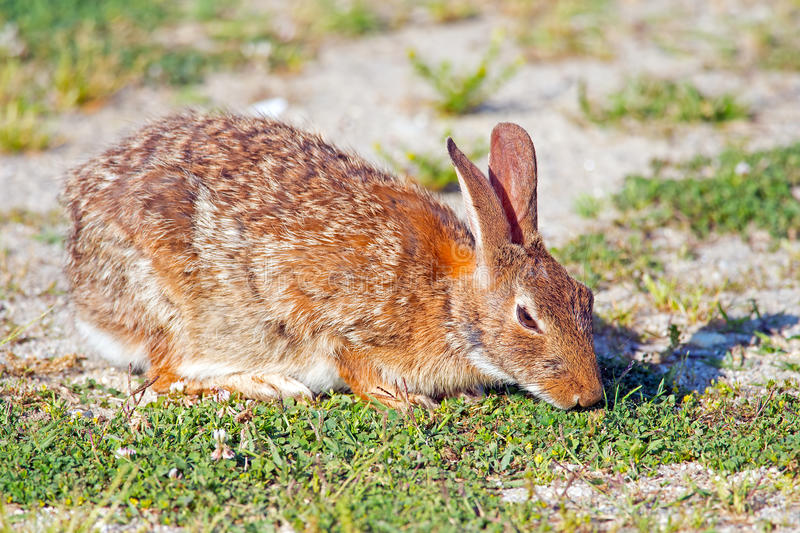 Download Eastern Cottontail Rabbit stock image. Image of grass - 25793483
