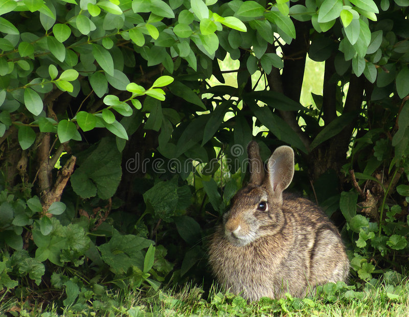 Download Eastern Cottontail Rabbit Royalty Free Stock Photo - Image: 6604825
