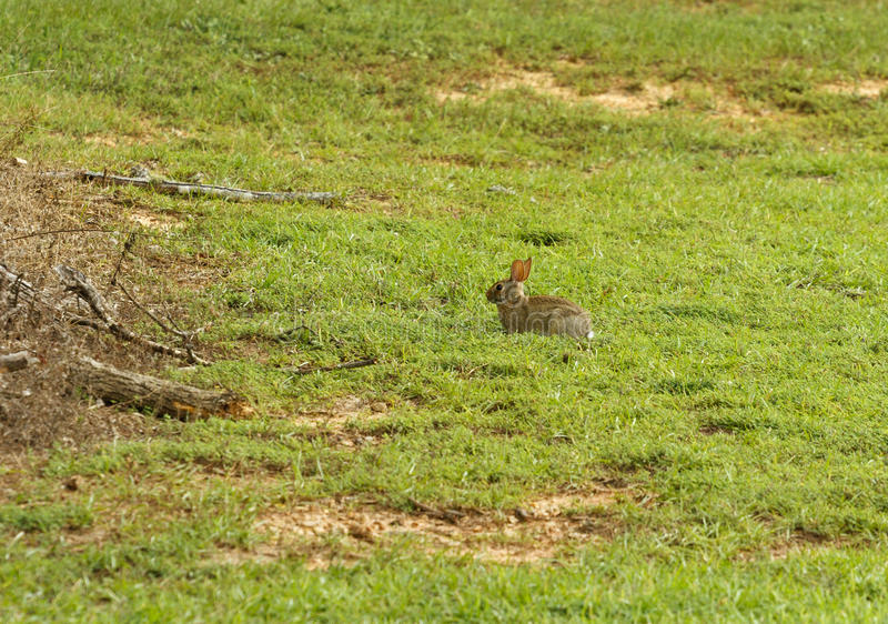 Download Eastern Cottontail Rabbit In A Field Stock Image - Image: 27702969