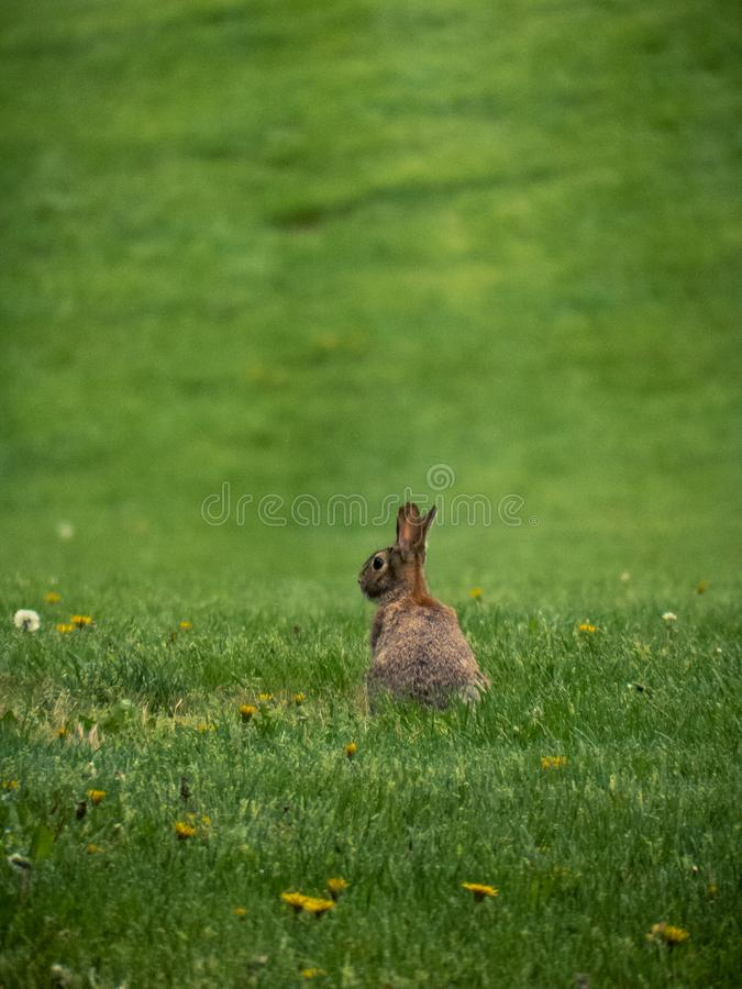 Eastern Cottontail Rabbit in Field with Dandelions royalty free stock images