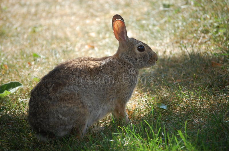 Eastern Cottontail Rabbit. The sun shines through this cottontails ears revealing the blood vessels royalty free stock photos