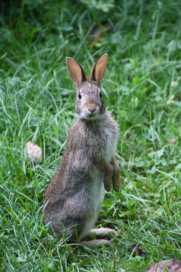 Eastern Cottontail Standing Up Sylvilagus floridanus. The eastern cottontail Sylvilagus floridanus is a New World cottontail rabbit, a member of the family stock photo