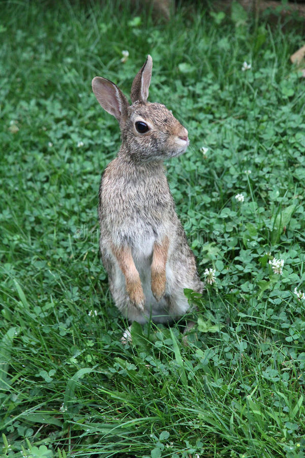Eastern Cottontail Standing Up 3 - Sylvilagus floridanus. The eastern cottontail Sylvilagus floridanus is a New World cottontail rabbit, a member of the family royalty free stock photo