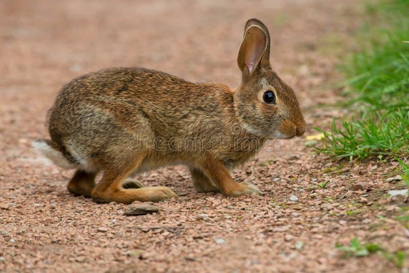 Eastern Cottontail Rabbit - Sylvilagus floridanus royalty free stock photos