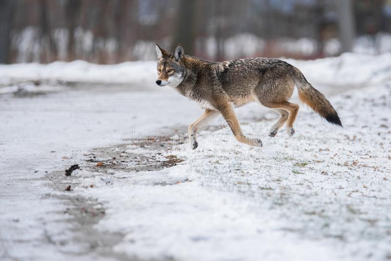 Eastern Coyote in Toronto Park. An Eastern Coyote, sometimes colloquially referred to as a `coywolf`, runs through Toronto`s Colonel Samuel Smith Park. Eastern royalty free stock images
