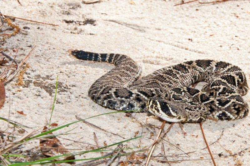 Eastern Diamondback Rattlesnake royalty free stock images