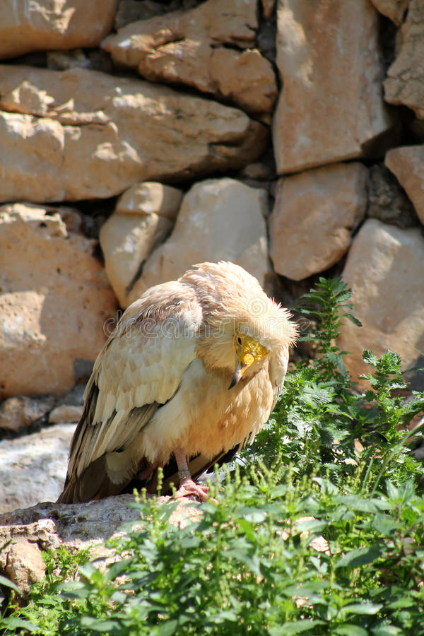 Download Eastern Egyptian Vulture stock photo. Image of fauna - 24097286