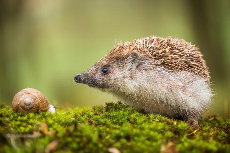 Eastern European Hedgehog. In nature royalty free stock image