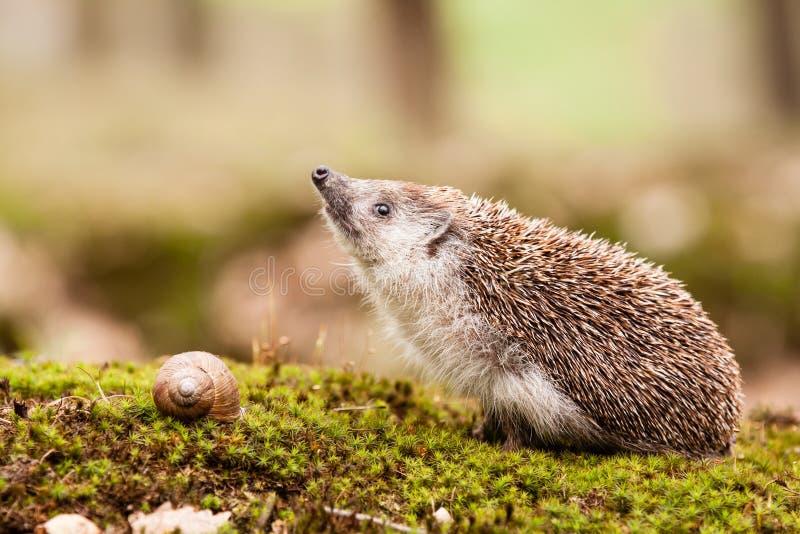 Eastern European Hedgehog royalty free stock photo