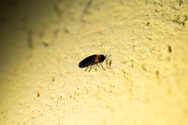 Eastern Firefly Photinus piralis on the wall stock photos