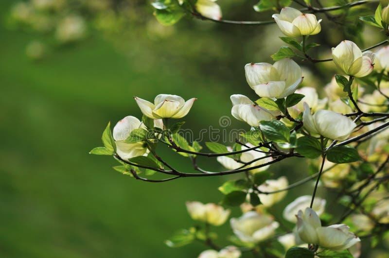 Download Eastern Flowering Dogwood - Cornus Florida Stock Photo - Image: 19052854