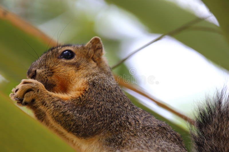 Eastern Fox Squirrel. An eastern fox squirrel sitting on top of a palm tree royalty free stock photos