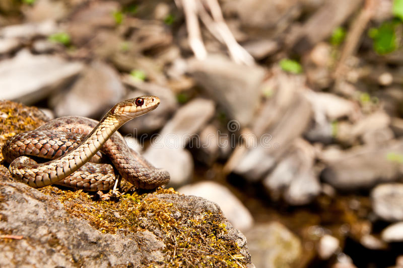 Eastern Garter Snake royalty free stock images