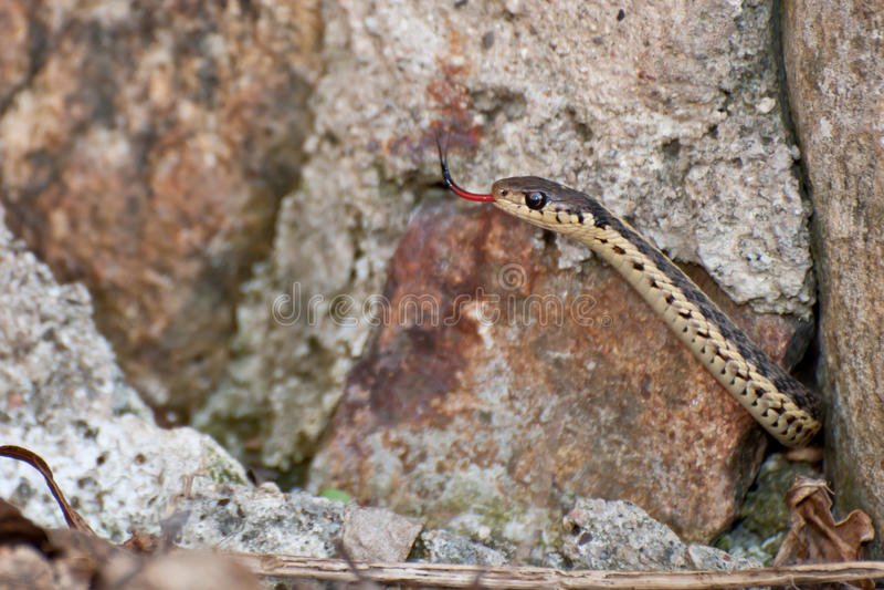 Eastern Garter Snake. An Eastern Garter Snake emerging from an old rock wall stock images