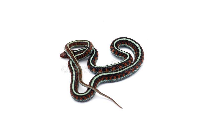 Eastern Garter Snake isolated on white background stock image