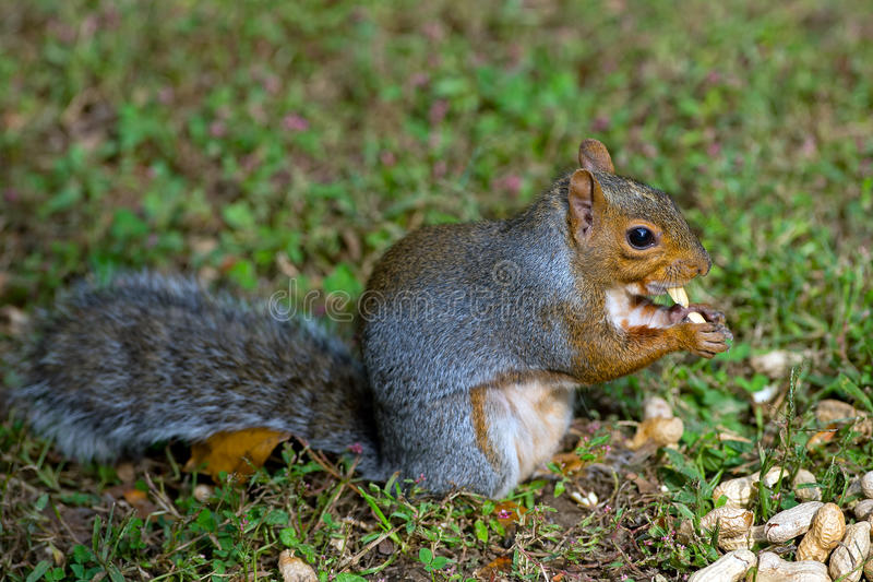 Download Eastern Gray Squirrel stock image. Image of wildlife - 27426761