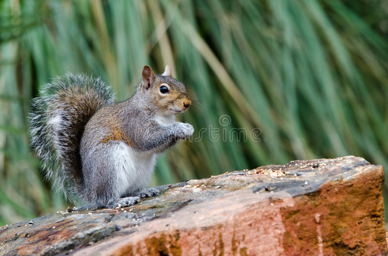 Eastern Gray Squirrel, Athens, Georgia royalty free stock photos