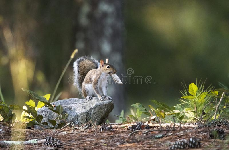 Eastern Gray Squirrel, Georgia, USA stock photos