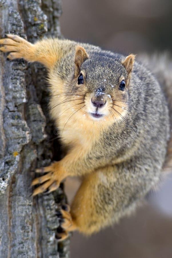 Download Eastern Gray Squirrel (Sciurus Carolinensis) Stock Photo - Image: 25437038
