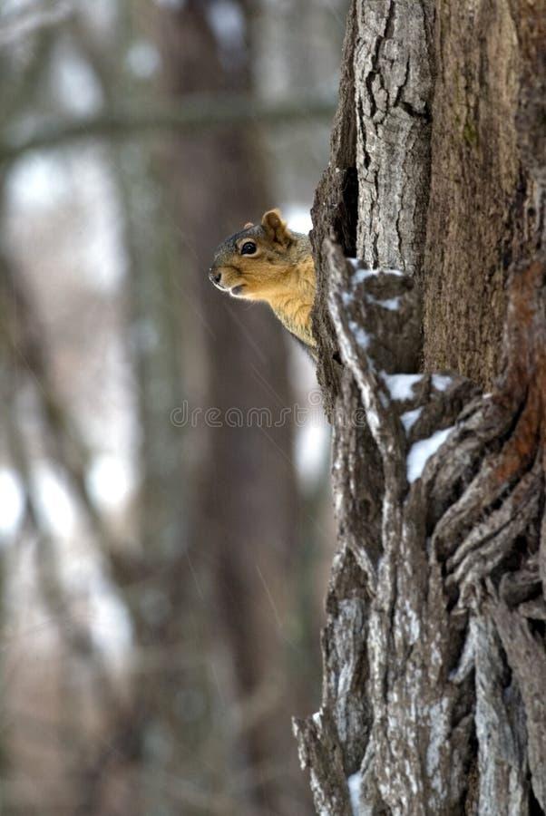 Download Eastern Gray Squirrel (Sciurus Carolinensis) Stock Photo - Image: 29040060