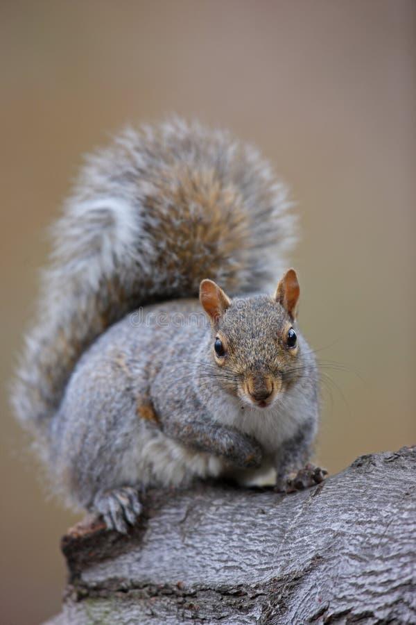 Download Eastern Gray Squirrel (Sciurus Carolinensis) Stock Photos - Image: 7851773