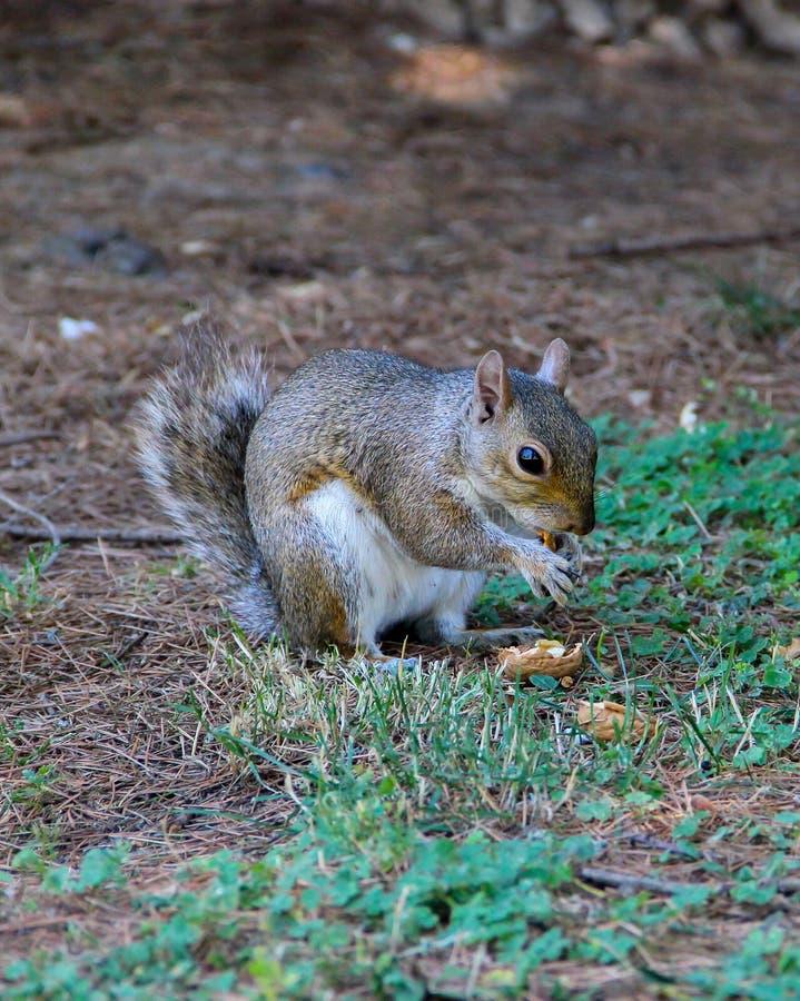 Eastern gray squirrel Sciurus carolinensis eating an english walnut stock photo