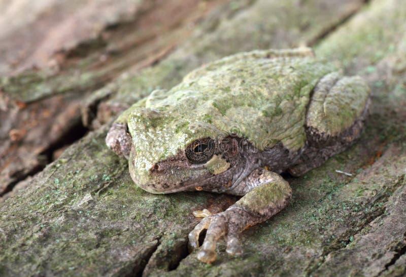 Download Eastern Gray Treefrog, Hyla Versicolor Stock Image - Image: 16278993