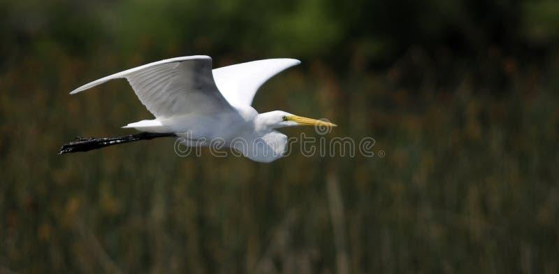 Download Eastern Great Egret stock image. Image of spread, flight - 19659889