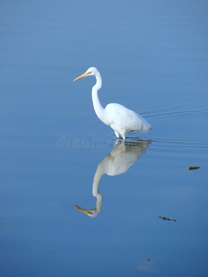 Eastern Great Egret, Randarda Lake, Rajkot. This is a photograph of an Eastern great egret Ardea alba modesta with its reflection in water, captured at Randarda stock photos