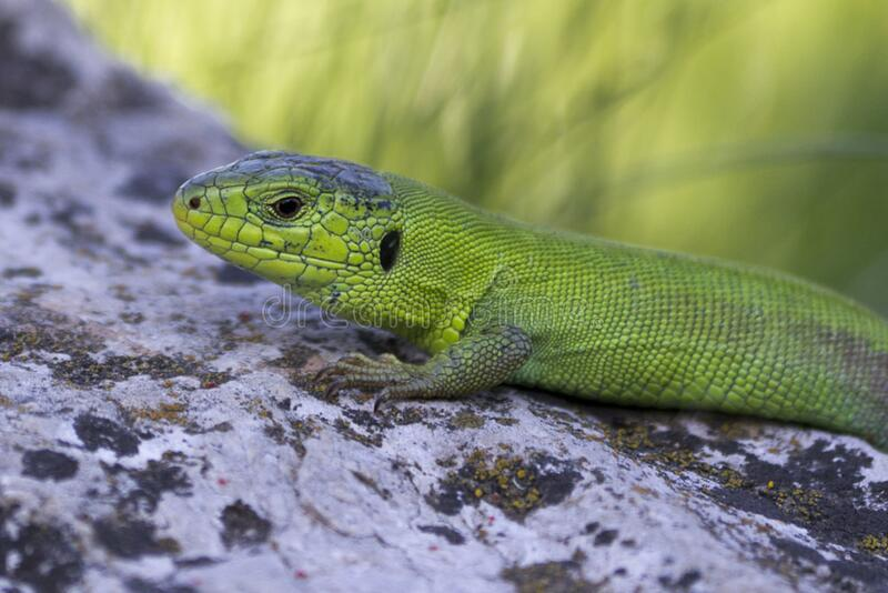 eastern-green-lizard royalty free stock image