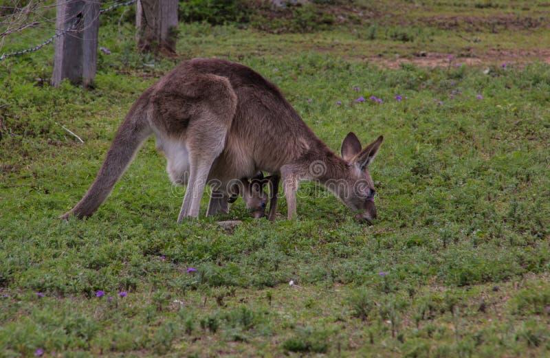 Eastern Grey Kangaroo. Female with joy inside, both grazing, Brisbane, Australia royalty free stock photography