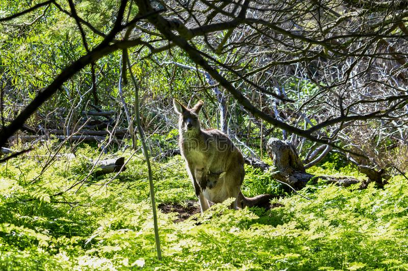 Eastern grey kangaroo with joey in pouch at Tower Hill Victoria Australia royalty free stock photo