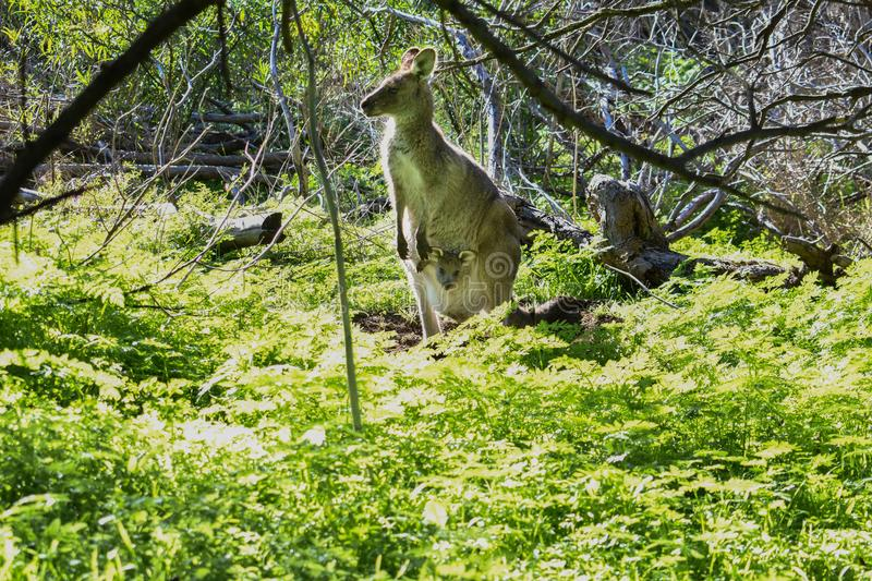 Eastern grey kangaroo with joey in pouch at Tower Hill Victoria Australia stock photo