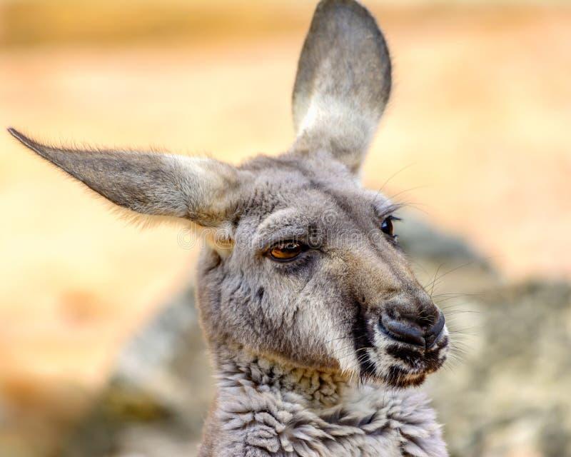 Eastern grey kangaroo Macropus giganteus stock photos