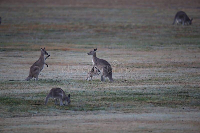 eastern grey kangaroo (Macropus giganteus) in the morning at the food intake ,Queensland ,Australia stock image