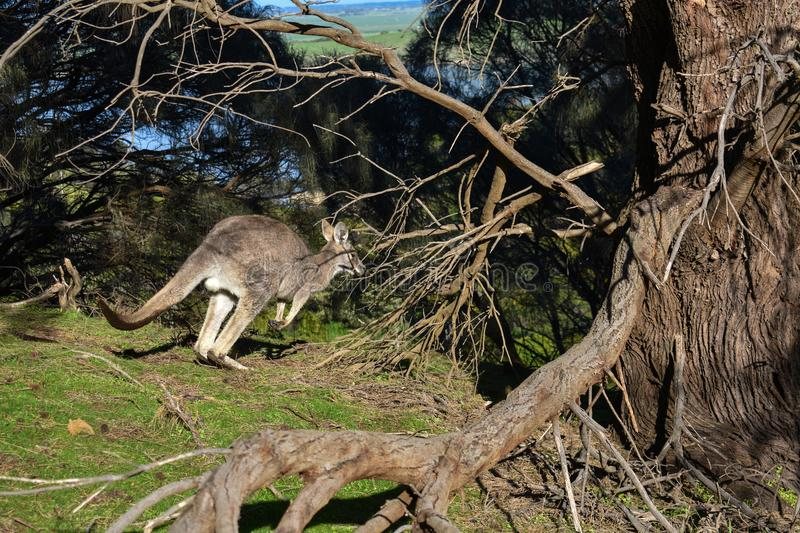 Eastern grey kangaroo Tower Hill Victoria Australia royalty free stock photography