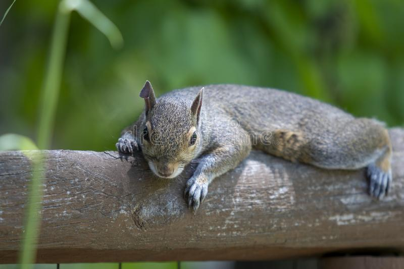 Eastern grey squirrel lounging on a fence rail facing viewer. With soft background stock photography