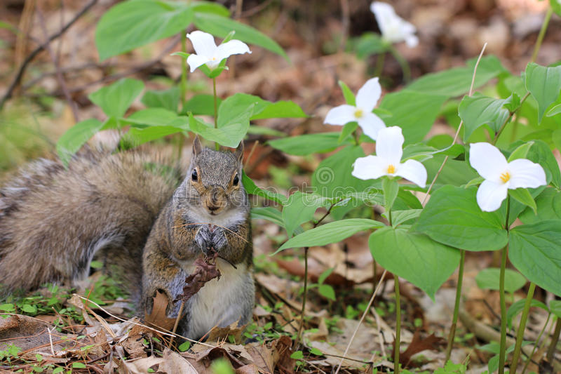 Eastern Grey Squirrel near white Trillium flowers royalty free stock photography
