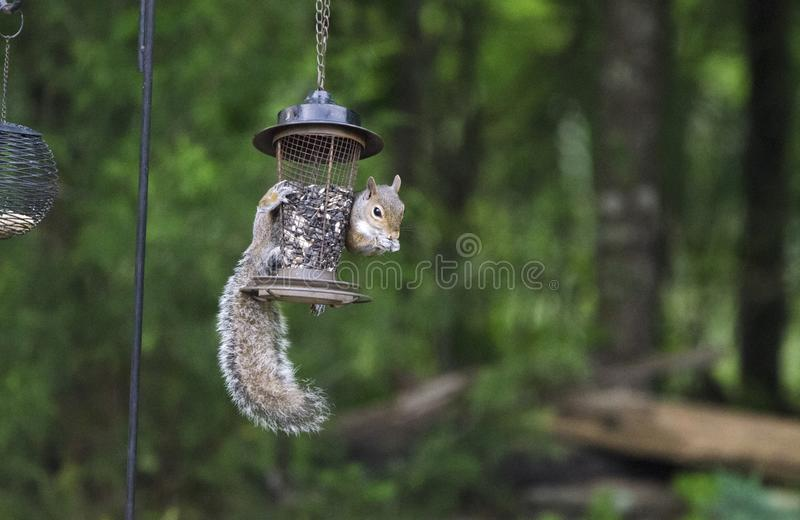 Eastern Gray Squirrel raiding bird seed feeder, Athens Georgia, USA. Eastern Grey Squirrel, Sciurus carolinensis, hangs from a bird feeder eating black oil royalty free stock image