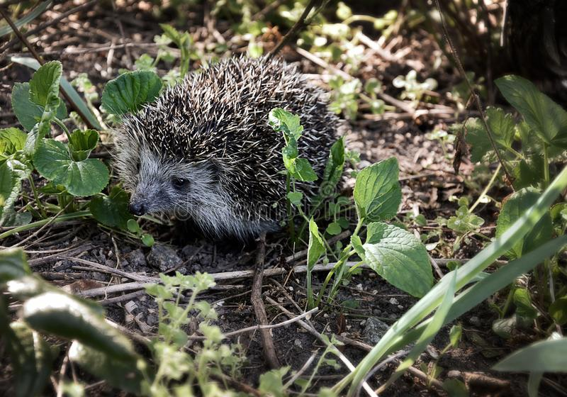 Eastern hedgehog in nature royalty free stock image