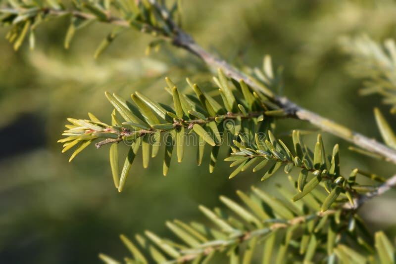 Eastern hemlock. Branch - Latin name - Tsuga canadensis royalty free stock image