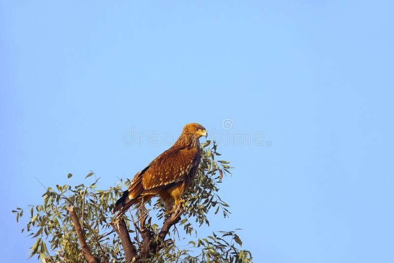 Eastern Imperial Eagle, Aquila heliaca, Little Rann of Kutch, Gujarat royalty free stock images