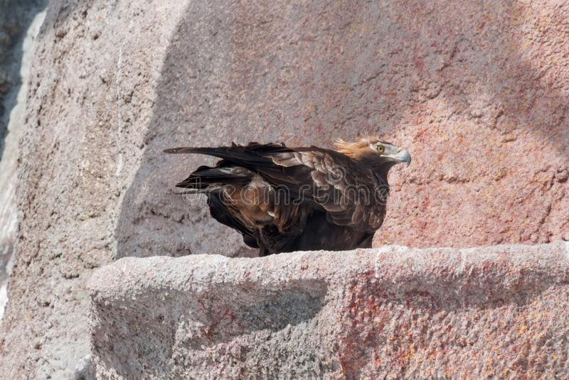 Eastern imperial eagle is sitting on the big stone. Aquila heliaca. stock photo