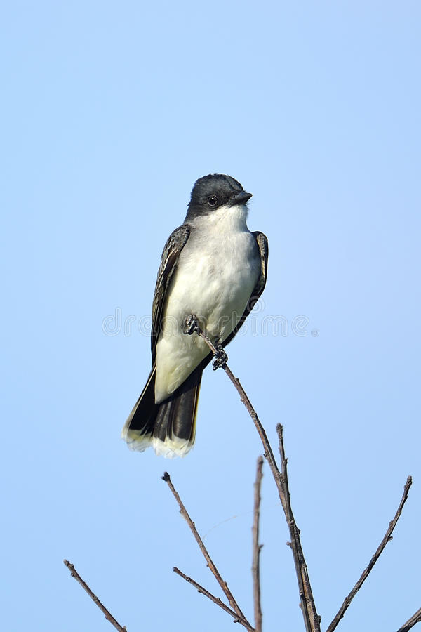 Eastern Kingbird Royalty Free Stock Photography