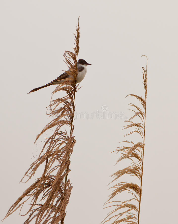 Eastern Kingbird Royalty Free Stock Photography